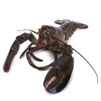 春播活水产波士顿活龙虾 1只装 400-550g