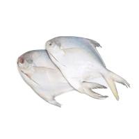 春播冰鲜水产去腮去脏银鲳鱼350-400g