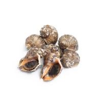 春播活水产小海螺450-500g