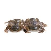 2020春播固城湖大闸蟹 2.5两母蟹 8只