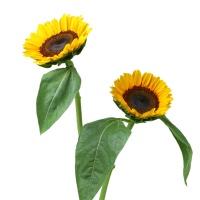 花楹向日葵5枝
