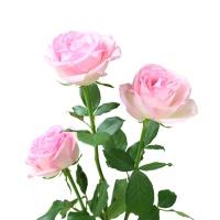 花楹桃红雪山玫瑰10枝