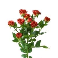 花楹巧克力泡泡多头玫瑰10枝